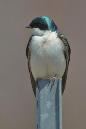 Tree swallow at Missisquoi National Wildlife Refuge. Credit: Ken Sturm/USFWS